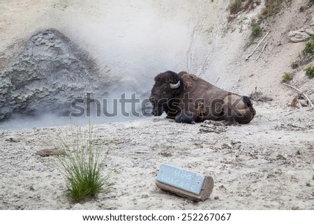 A large male bison relaxing next to the hot muddy water of a volcanic pool at Yellowstone National Park. - stock photo