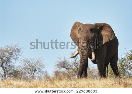 A large male elephant advances in the savannah of the Kruger National Park - stock photo
