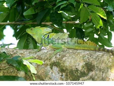 A large male Green or Plumed Basilisk, Basiliscus plumifrons, in a tree near stream in Costa Rica - stock photo