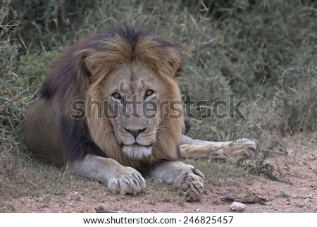 A large male lion keeps his eye on the photographer - stock photo