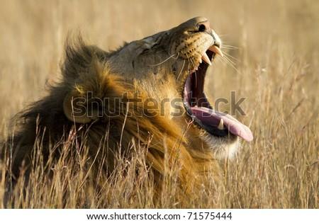A large male lion yawns. - stock photo