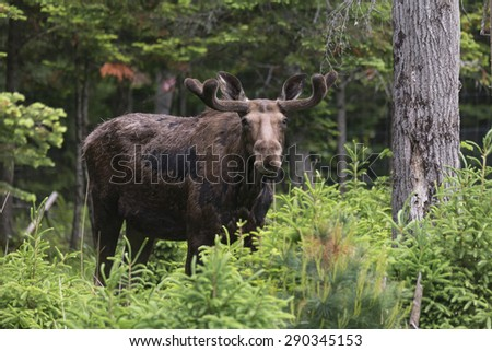A large male moose in a forest feeding - stock photo