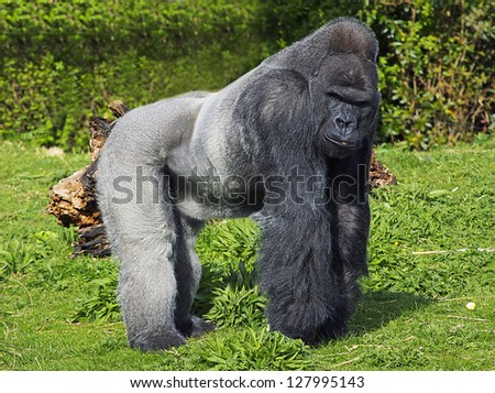 A large male silver back western lowland gorilla standing in a powerful position surveying his  territory - stock photo