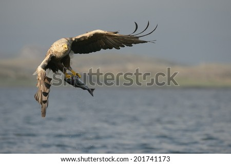 A large male White-tailed eagle carrying a very large Coalfish which he has just caught. - stock photo