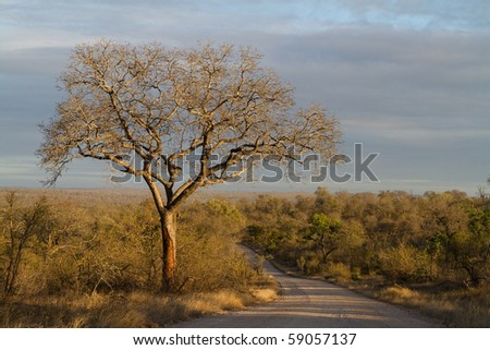 A large marula tree in south africa - stock photo