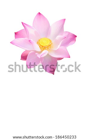 A Large Pink Lotus Isolated in White - stock photo