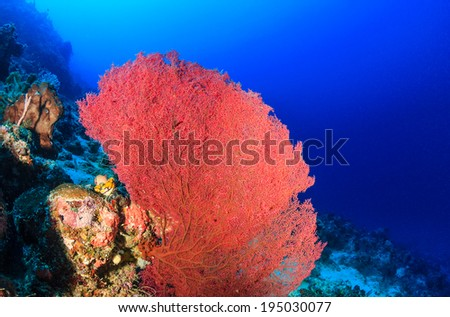 A large pink sea fan on a tropical coral reef - stock photo