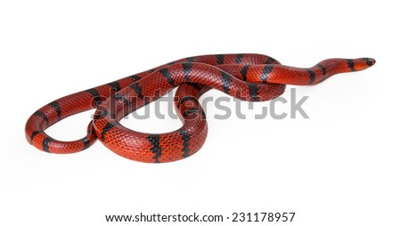 A large red Hungarian milk snake curled up and facing the side - stock photo