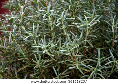 A large Rosemary plant fills the image. - stock photo