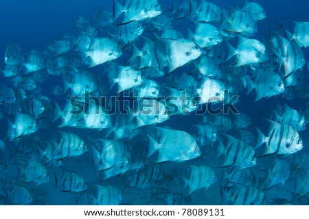A large school of Atlantic Spadefish swimming over a sandy bottom. - stock photo