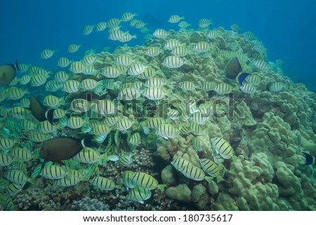 A large school of fish moving as one over the reef - stock photo