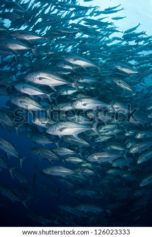 A large school of Horse-eye jacks (Caranx sexfasciatus) swirls in deep water off of Cocos Island, Costa Rica.  This island is known for its large shark populations. - stock photo