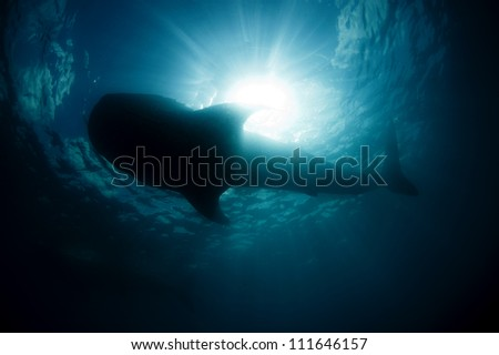 A large silhouette of a whale shark  (Rhincodon typus) passes overhead - stock photo