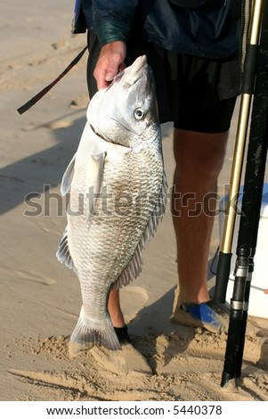 A large steenbras fish caught in the surf - stock photo