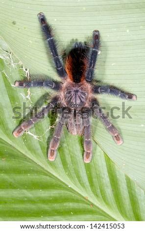 A Large Tarantula on a green leaf in rainforest, ecuador - stock photo