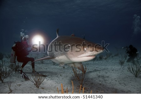 A large tiger shark blinks from the bright light of a diver's light. - stock photo
