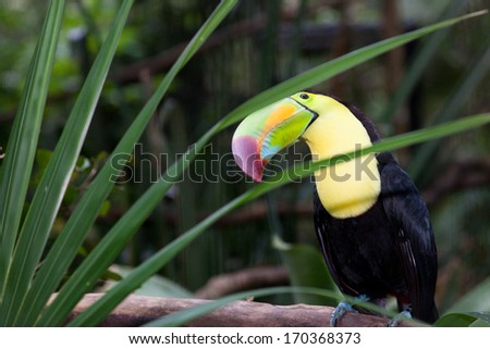 A large toucan sitting on a branch with his head tilted to look through a fanned opening of a palm plant. - stock photo