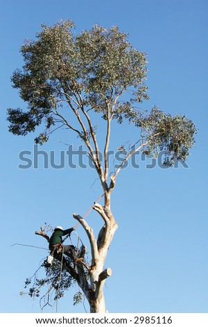 A large tree is being cut down by a man suspended ropes. He is leaning back against the rope and has a chainsaw dangling from his harness - stock photo