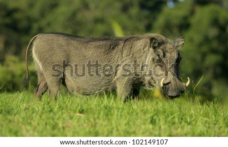 A large warthog in this photo taken in South Africa - stock photo