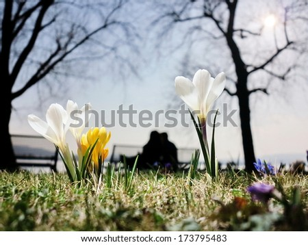a lawn with crocusses in spring - stock photo