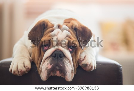A lazy looking British Bulldog on the sofa - stock photo