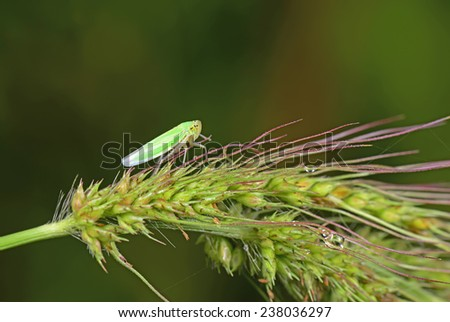 A leaf cicadas in green plants for close-up  - stock photo