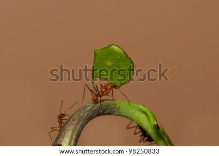 A leaf cutter ant in a dutch zoo - stock photo