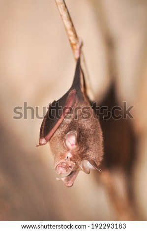 A leaf nose bat hanging on a tree branch, Thailand - stock photo