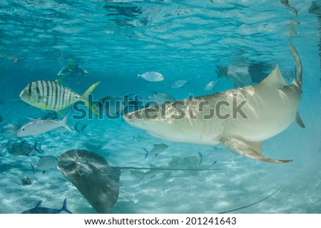 A Lemon shark cruises through a shallow, sandy lagoon in French Polynesia. This part of French Polynesia is one of the most beautiful tropical destinations in the world. - stock photo