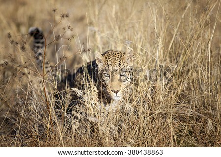 A leopard hunting in long grass - stock photo