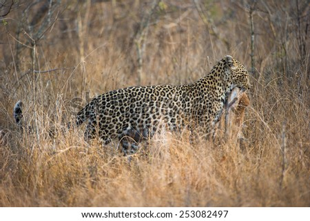 A leopard hunting in tall grass - stock photo
