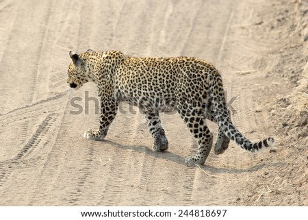 A leopard (Panthera pardus) crossing a road in in Serengeti National Park, Tanzania - stock photo