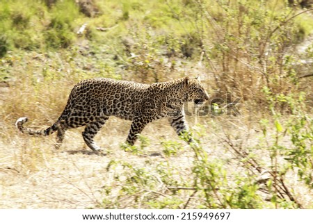 A leopard (Panthera pardus) on the Masai Mara National Reserve safari in southwestern Kenya. - stock photo