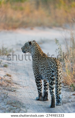 A leopard pausing on her walk down a dirt road, listening intently - stock photo