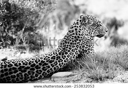 A Leopard relaxing in a protected Game Reserve in South Africa - stock photo