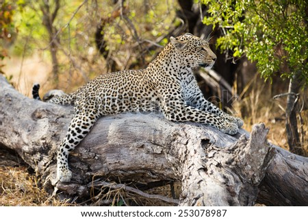 A leopard resting in a tree - stock photo