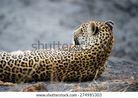 A leopard resting in golden light - stock photo