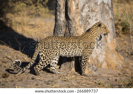 A leopard stops to watch something in the distance in the Linyanti swamps - stock photo