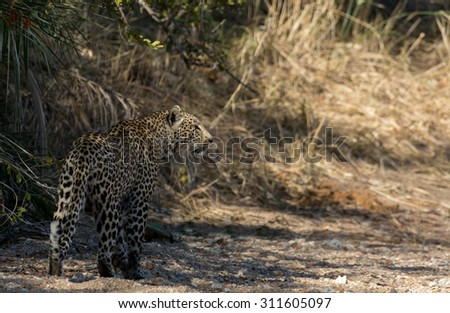A leopard walking along a dry river bed in Sabi Sands  in greater Kruger National Park, South Africa - stock photo