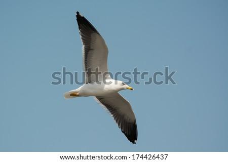 A Lesser Black-Backed Gull (Larus fuscus) in flight - stock photo