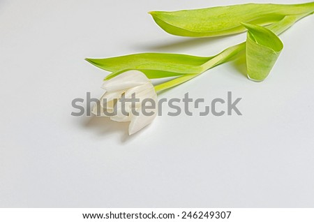 a light delicate tulip on bright background - stock photo