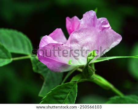 A light pink wild rose (Rosa sp.). The provincial flower of Alberta Canada - stock photo