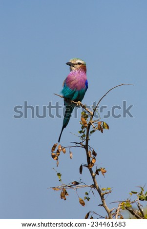 A lilac-breasted roller perched on a tree. - stock photo