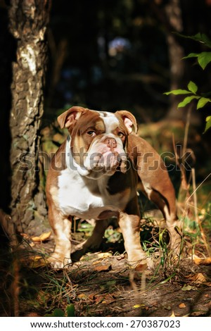 A lilac color English Bulldog sits on a bed of autumn leaves - stock photo