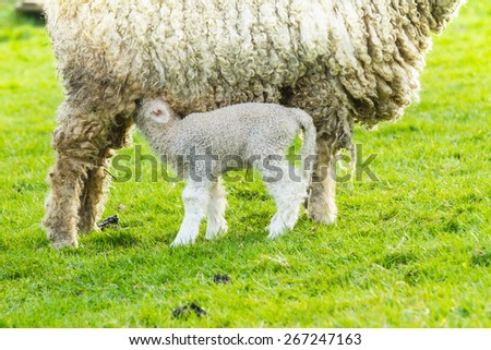 A Lincolnshire Long Wool sheep with her newborn lamb in a green field in April. Idyllic rural scene. - stock photo