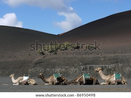 A line of dromedary camels on hills of black ash - stock photo