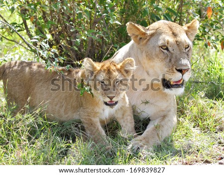 A lion cub and the mother resting near a bush - stock photo