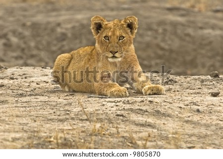 A Lion cub From Kruger Park, South Africa - stock photo