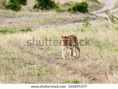 A lion cub in the Savannah - stock photo