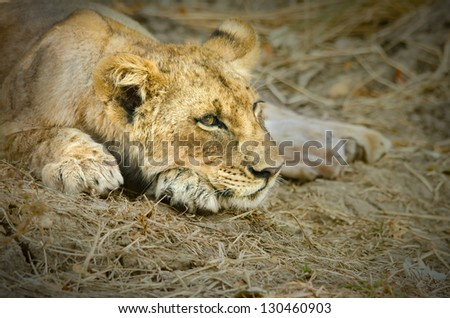 A lion cub relaxes after a big meal in Zambia's South Luangwa - stock photo